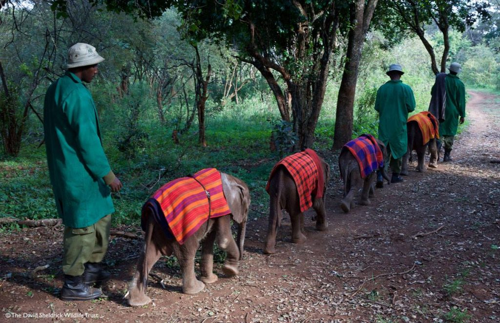 Carers at David Sheldrick Wildlife Trust walking elephants around the forest to eat breakfast
