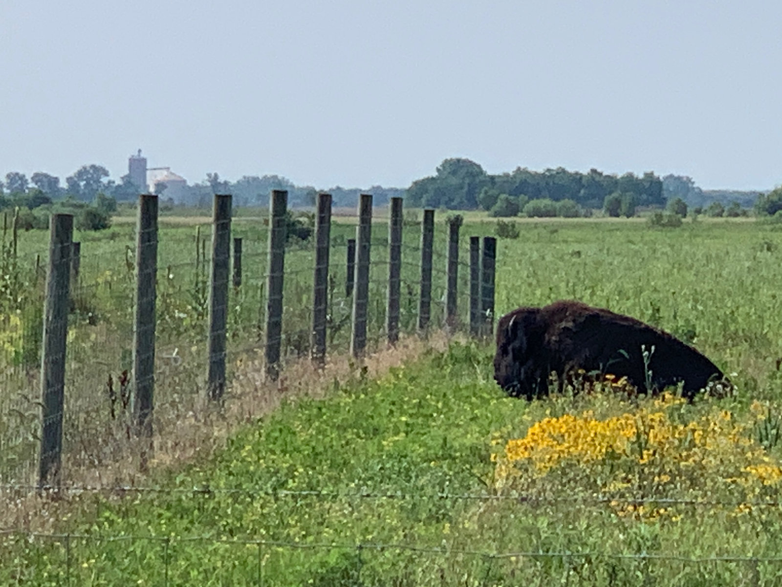 The national mammal of USA in Kankakee Sands
