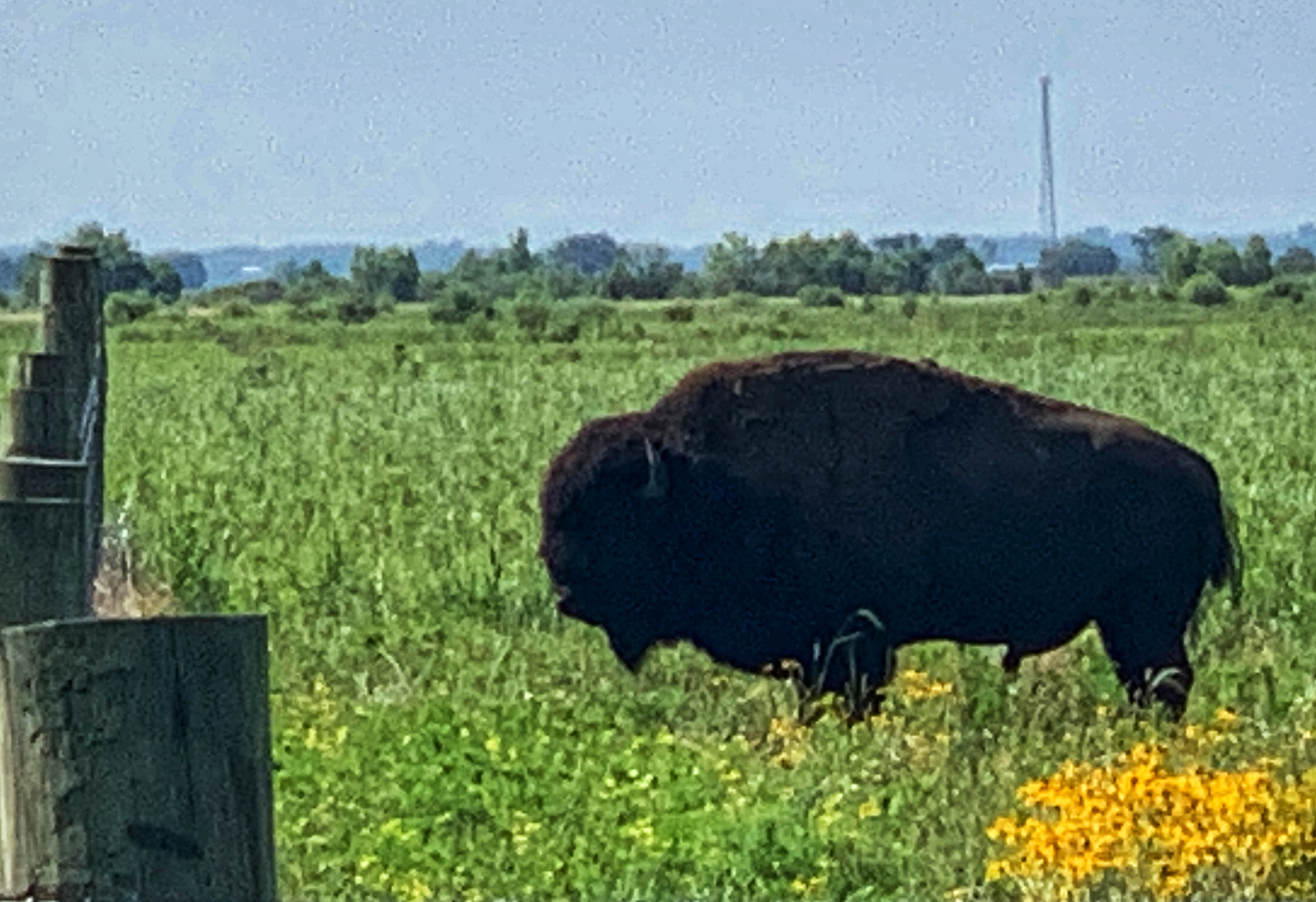 The national mammal of USA in Kankakee Sands Nature Conservancy Indiana