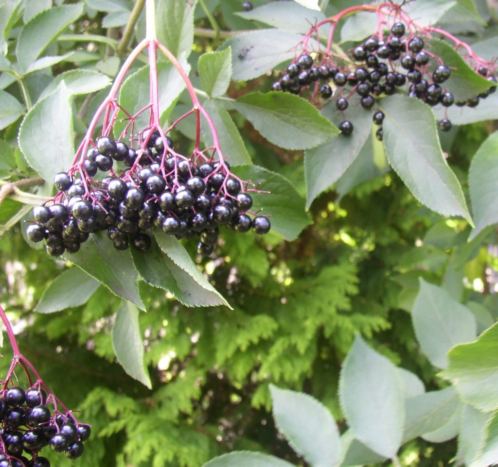 We use this elderberry syrup recipe, essential oil, and oranges as our immune boosters. What are yours? Photo credit: Woodstockvitamins.com | For Animals For Earth