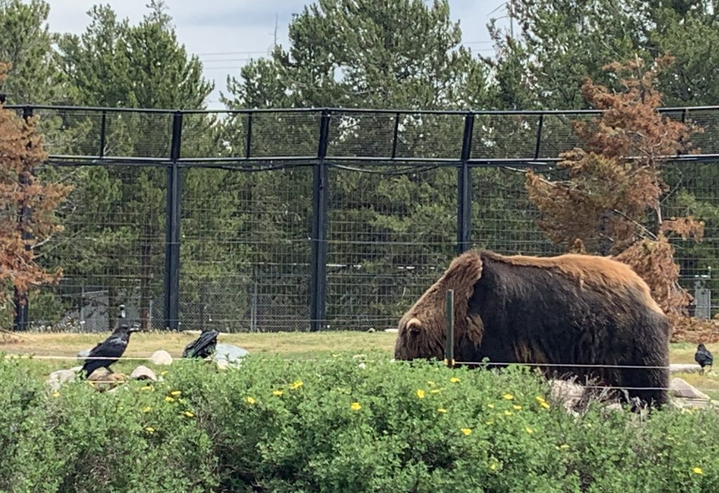 Ethical grizzly bear and wolf sanctuary in Yellowstone National Park | For Animals For Earth
