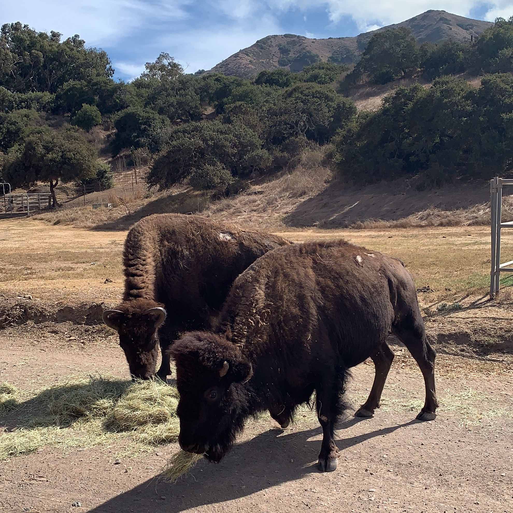 Bison in the Island of Catalina Conservancy does an amazing tour of the undeveloped parts of the island. We learned about the endemic and invasive species, and the work they're doing to protect the island. | For Animals For Earth