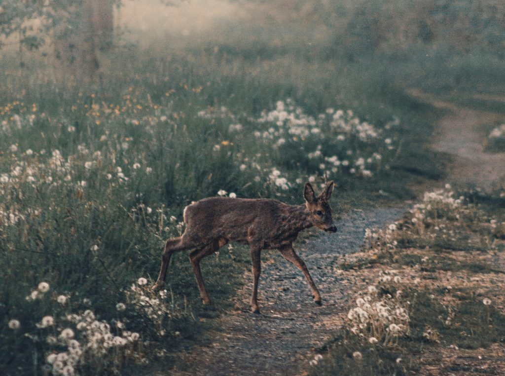 Despite a reputation for being leaders in the environmental movement, we need wildlife crossings in California. Wildlife crossings are bridges or tunnels that help wildlife cross from one green space to another. They can be maneuvered so that animals use the crossings instead of moving across the pavement.